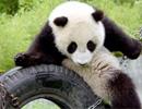大熊猫团团