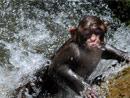 动物园的猴子跳水降温
