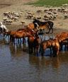金帐汗蒙古部落 牛羊成群马儿饮水